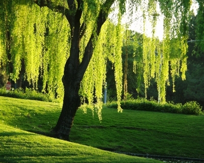 Photograph of willow tree