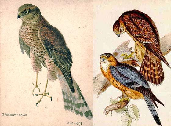 Sparrow Hawk and Merlin