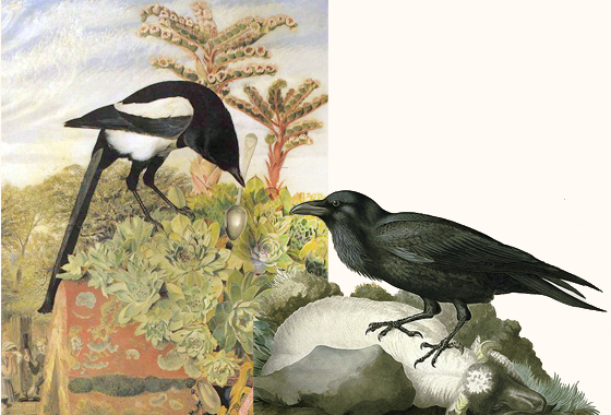 Magpie and raven