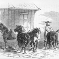 <em>Icelandic horses</em>