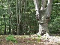 Pollard Beech in Epping Forest